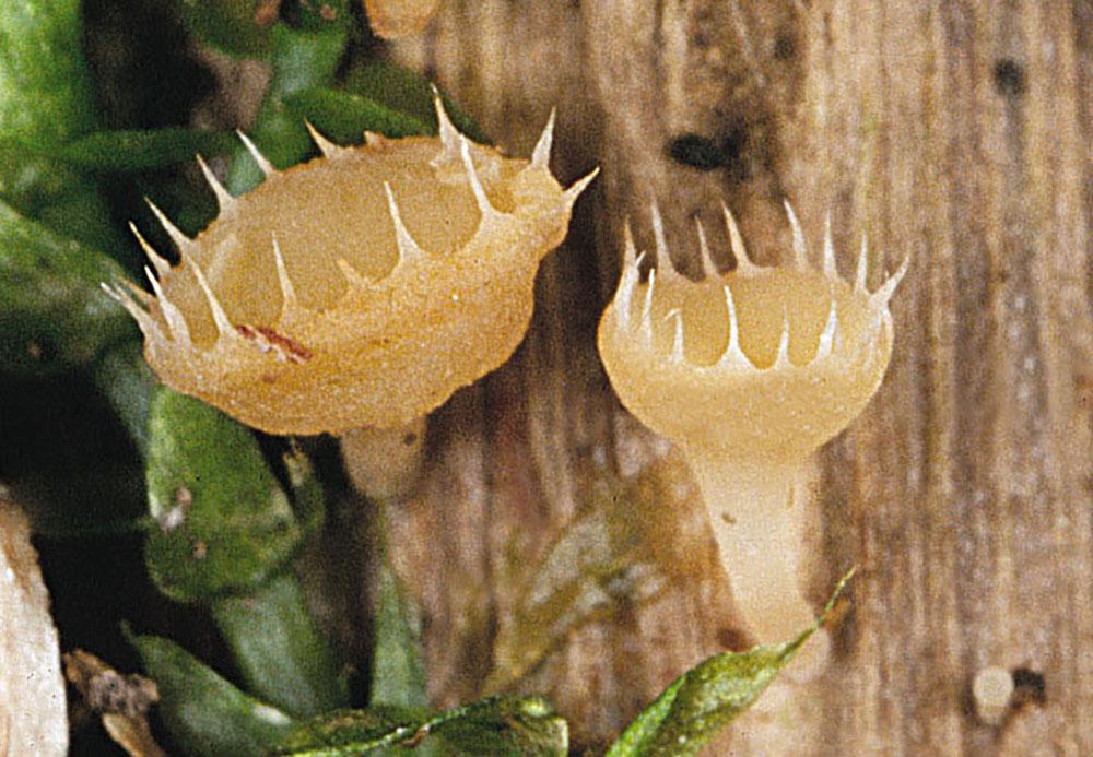 Gekrönter Stengelbecherling (Cyathicula coronata)