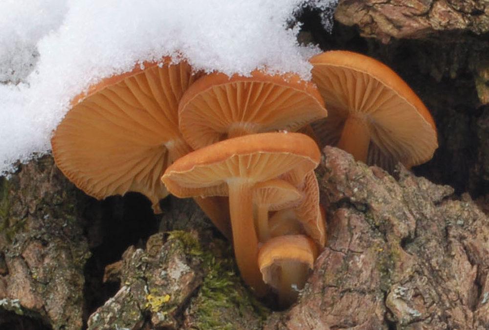 Flammulina velutipes (Samtfußrübling)