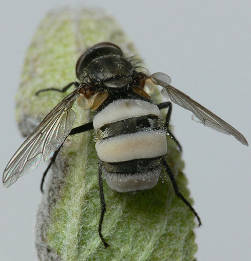 Entomophthora muscae (Fliegentöter)