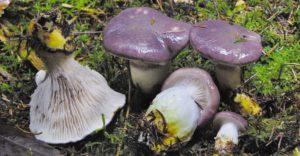 Kuhmaul Gomphidius glutinosus