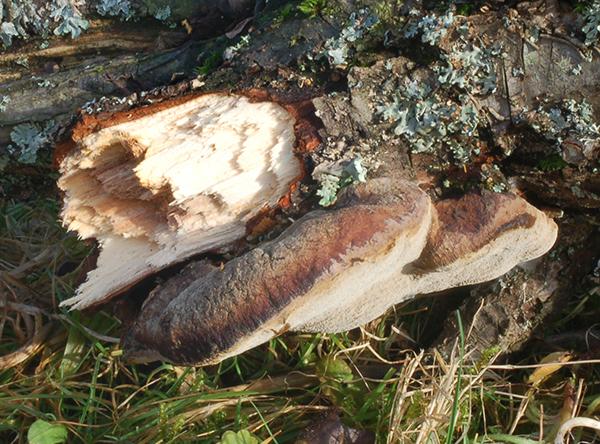 Plüschporling (Inonotus hispidus)