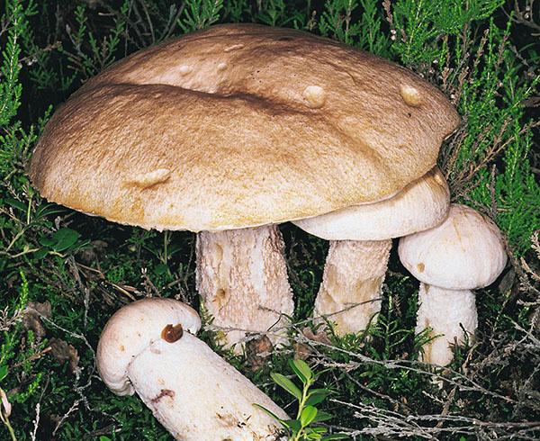 Blasshütige Rotkappe (Leccinum roseotinctum)
