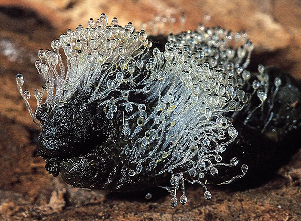 Pillenwerfer (Pilobolus kleinii)