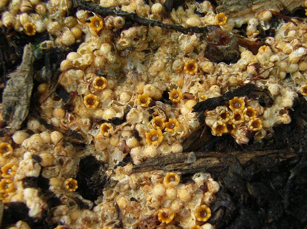 Kugelschneller (Sphaerobolus_stellatus)
