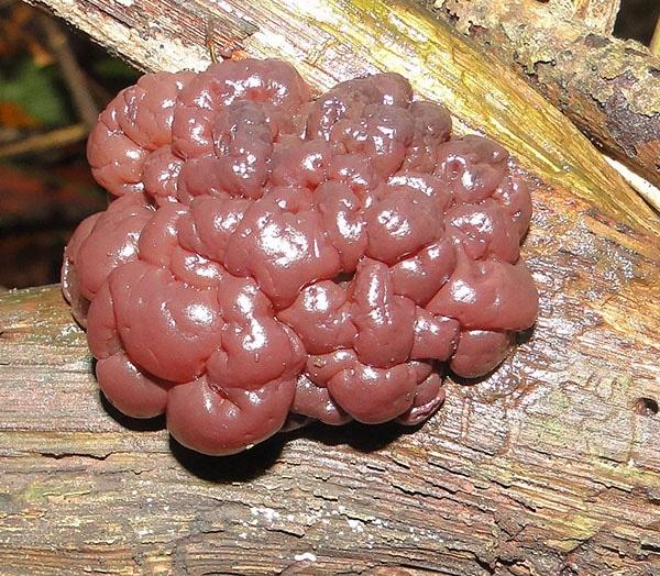 Buchen-Schlauchzitterpilz (Ascotremella faginea)