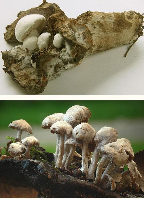Stäubender Zwitterling (Asterophora lycoperdoides)