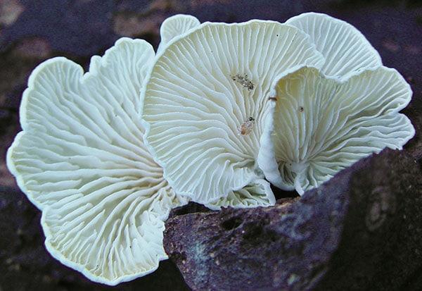 Kreide-Muscheling (Cheimonophyllum candidissimum)