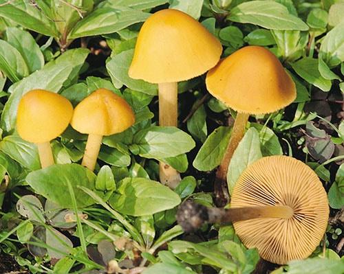 Gold-Samthäubchen (Conocybe aurea)