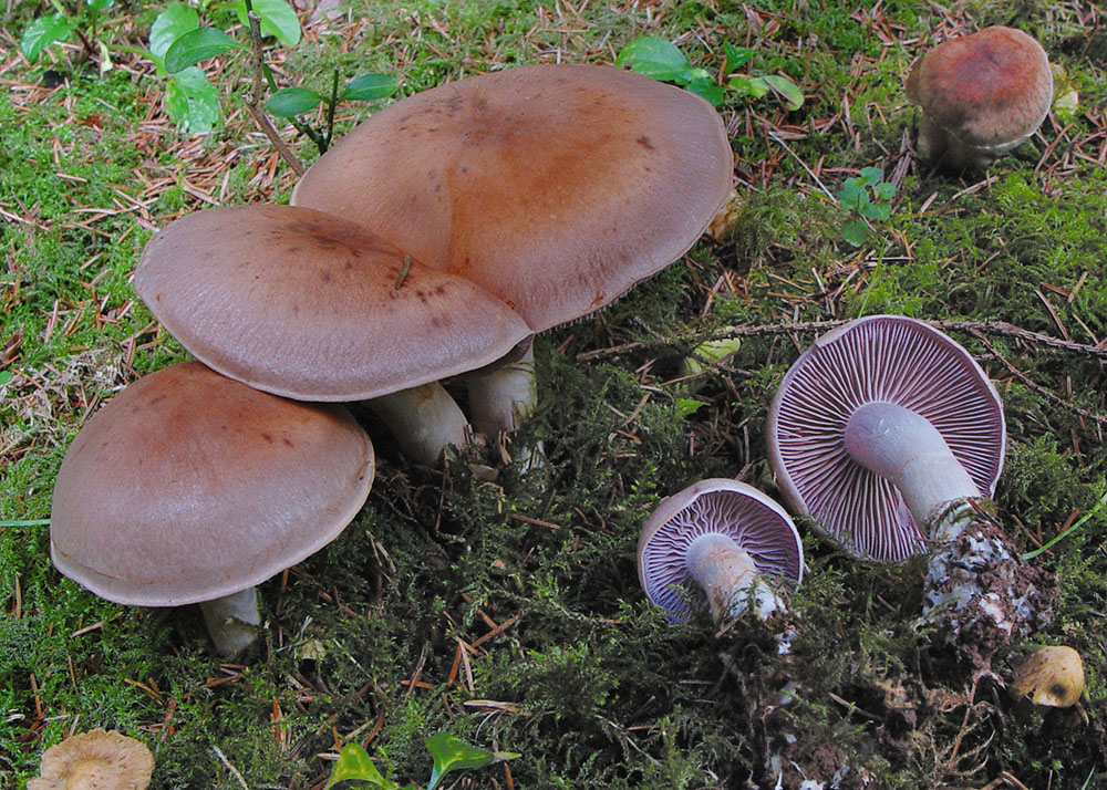Rostbrauner Dickfuß (Cortinarius caninus)