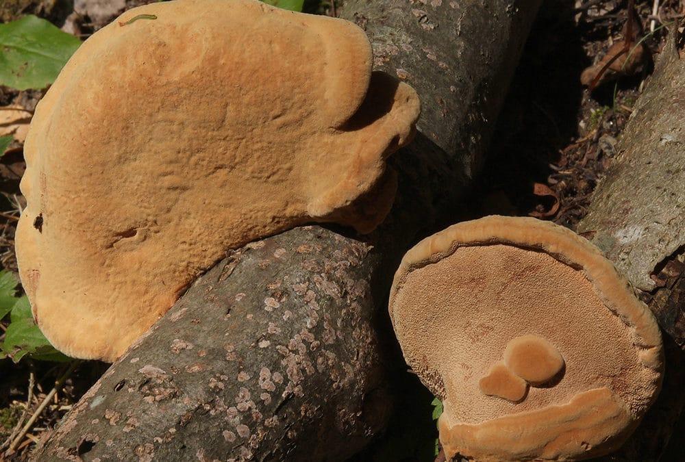 Hapalopilus rutilans (Zimtfarbener Weichporling)