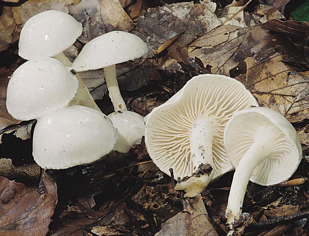 Elfenbein-Schneckling (Hygrophorus eburneus)