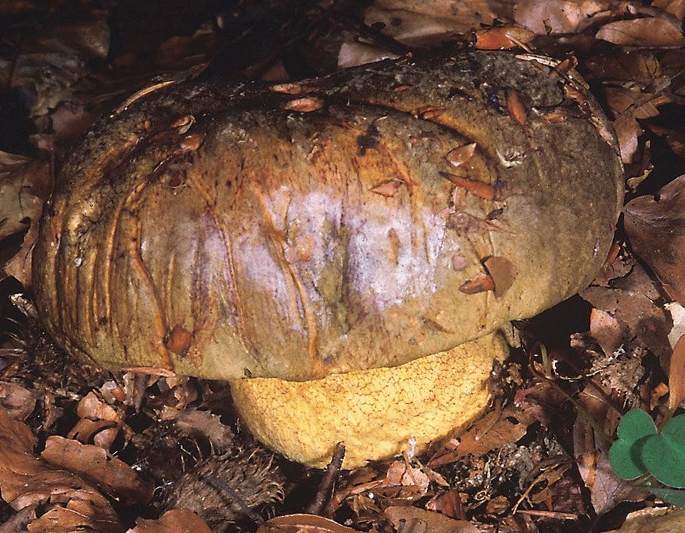 Ochsenröhrling (Imperator torosus)