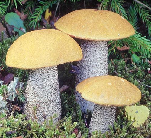 Birken-Rotkappe (Leccinum versipelle)
