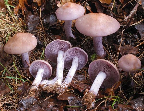 Violetter Rötelritterling (Lepista nuda)