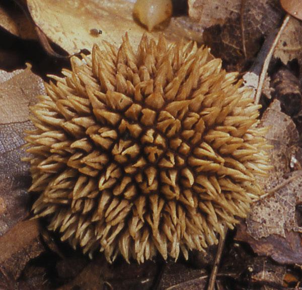 Igel-Stäubling (Lycoperdon echinatum)