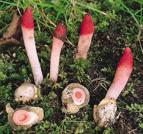 Himbeerrote Hundsrute (Mutinus ravenelii)