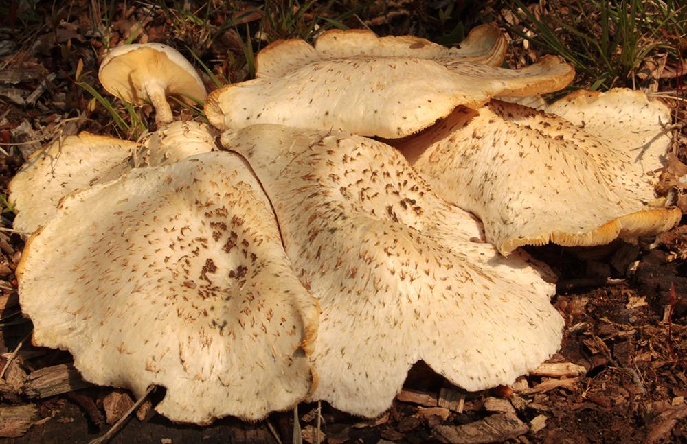 Neolentinus lepideus (Schuppiger Sägeblättling)