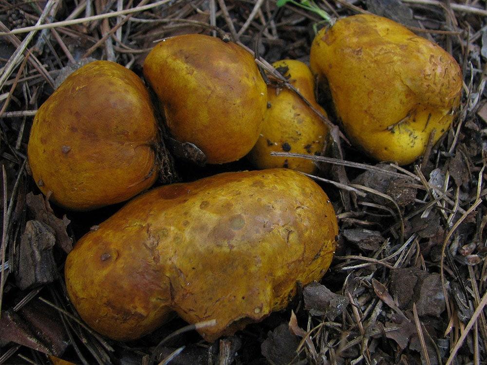 Gelbliche Wurzeltrüffel (Rhizopogon obtextus)
