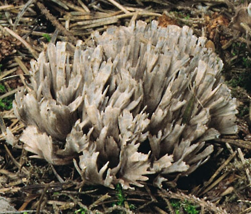 Stinkender Warzenpilz (Thelephora palmata)