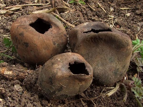Schwarzer Tulpenpilz (Urnula craterium)