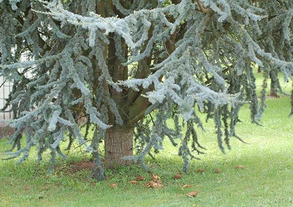 Zeder mit Mykorrhiza