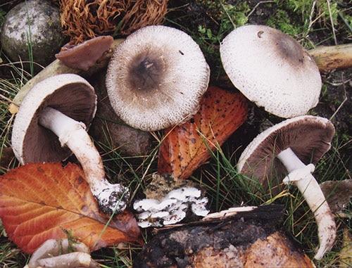 Braunscheckiger Stink-Egerling (Agaricus impudicus)