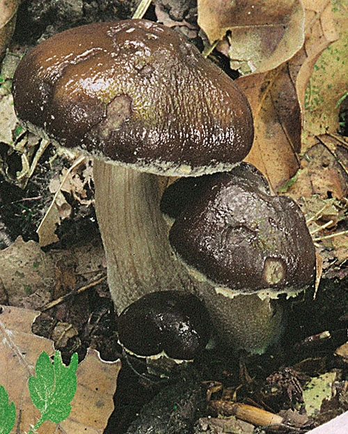 Leberbrauner Ackerling (Agrocybe erebia)