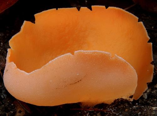 Orangebecherling (Aleuria aurantia)