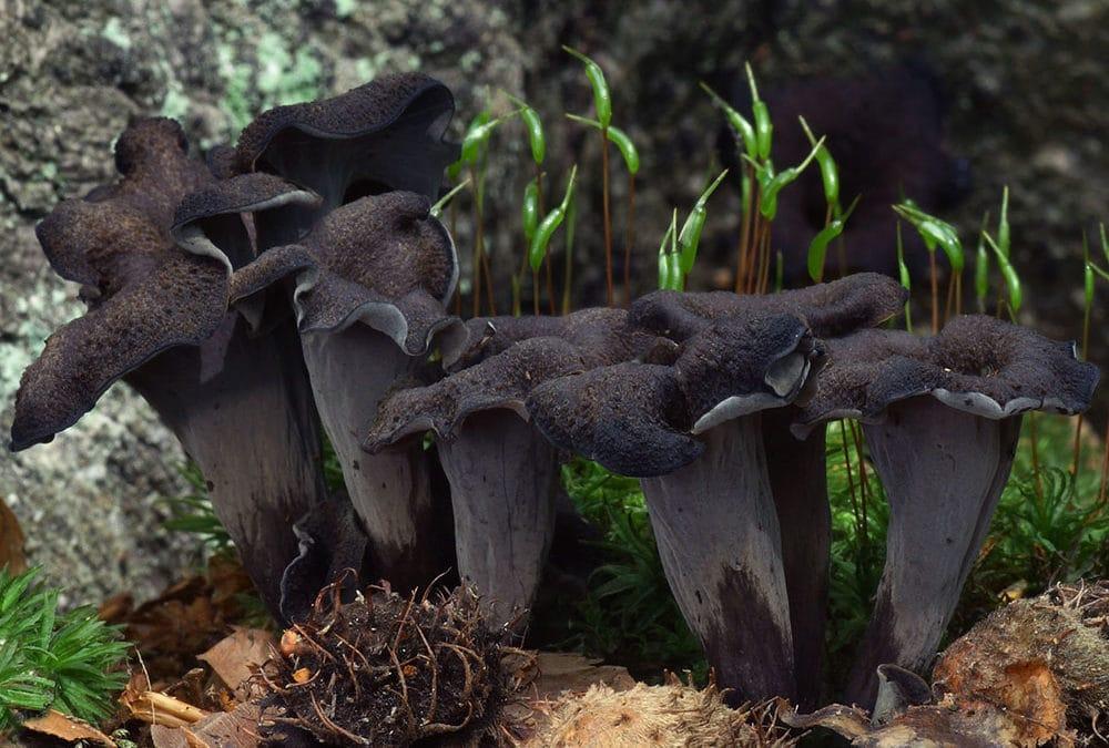 Craterellus cornucopioides (Totentrompete)