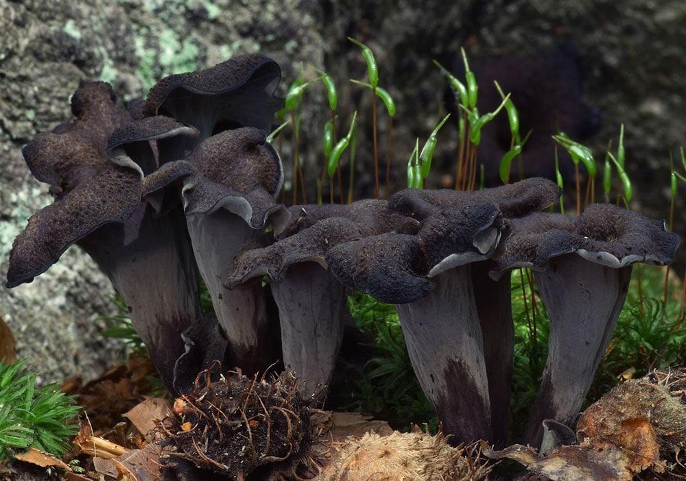 Totentrompete (Craterellus cornucopioides)