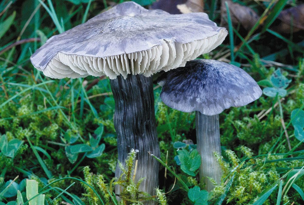 Entoloma bloxamii (Blauer Rötling)