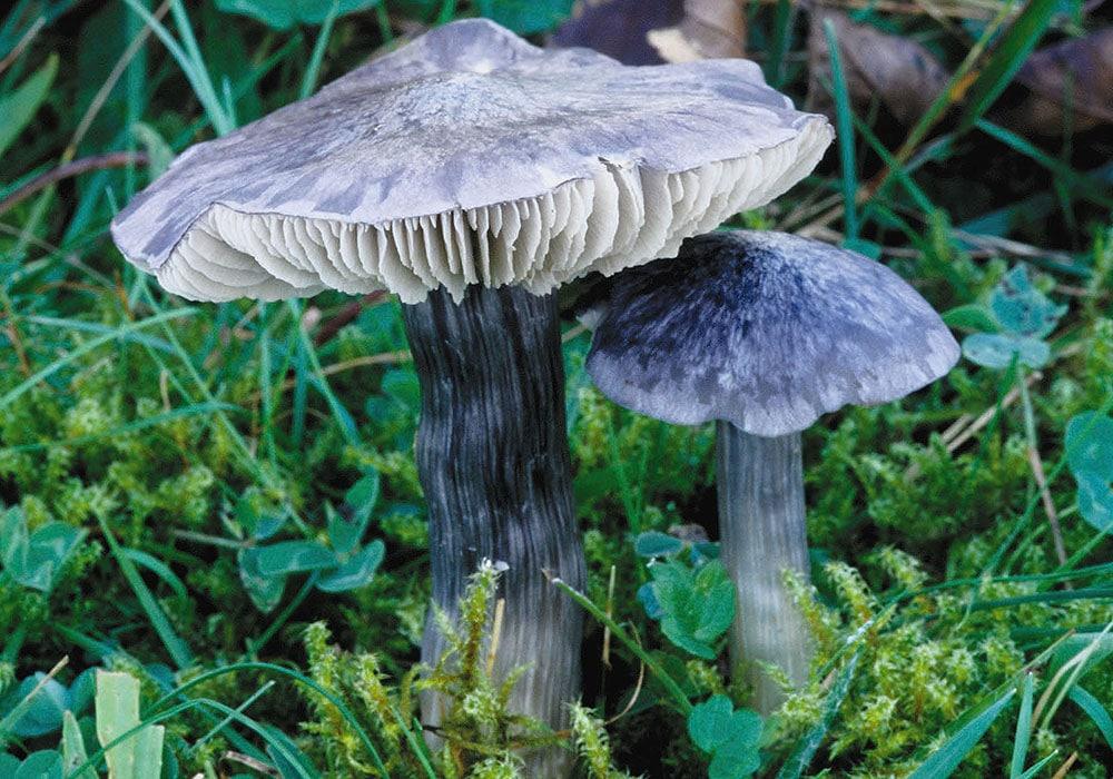 Blauer Rötling (Entoloma bloxamii)