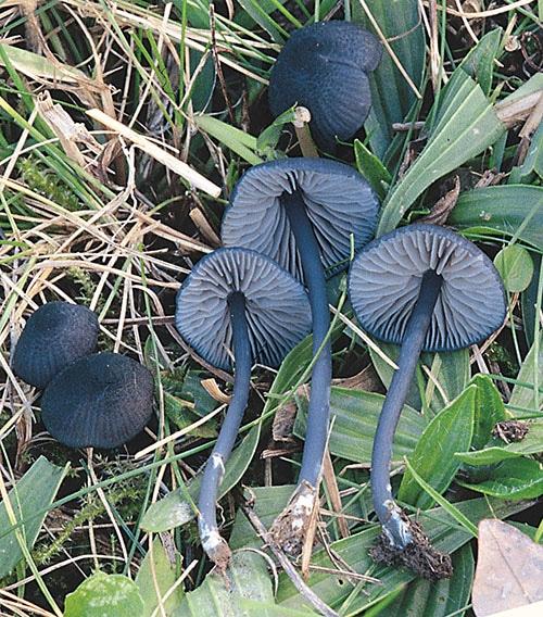 Blaublättriger Rötling (Entoloma chalybaeum)