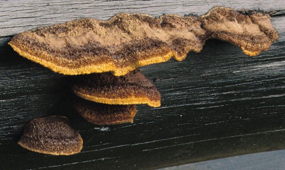 Zaunblättling (Gloeophyllum sepiarium) Seppi dra di um