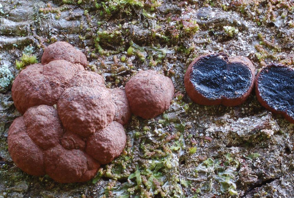 braun (fuscus), brown, brun, marrón, bruin, ruskea, pruun, barna