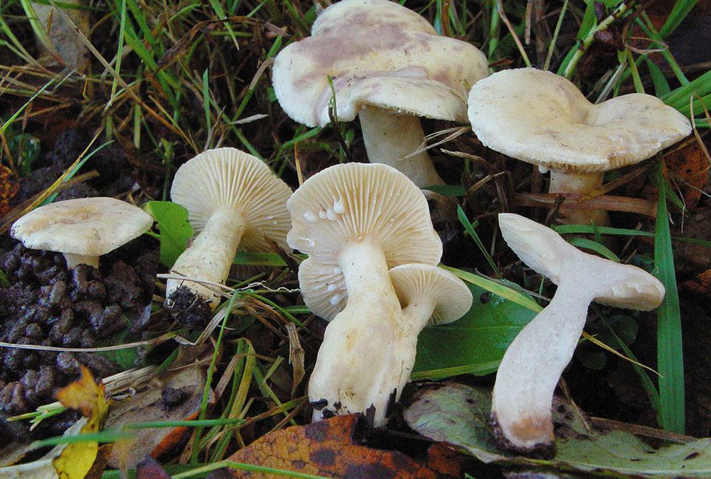 Lactarius aspideus (Blasser Violett-Milchling)