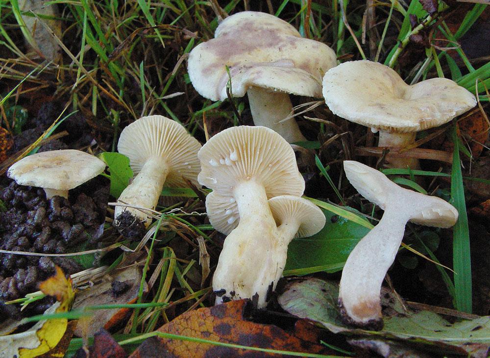 Blasser Violett-Milchling (Lactarius aspideus)