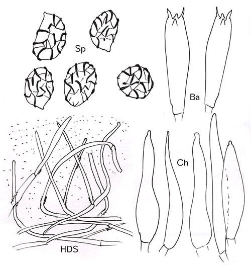 Blasser Violett-Milchling (Lactarius aspideus) Mikro