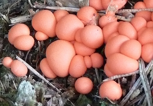 Blutmilchpilz (Lycogala epidendrum)