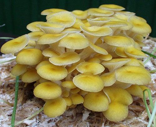 Zitronenseitling (Pleurotus citrinopileatus)
