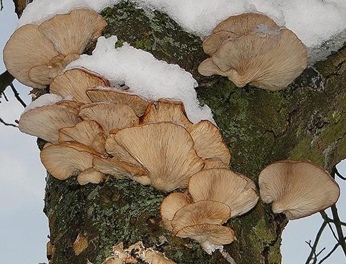 Austern-Seitling (Pleurotus ostreatus)